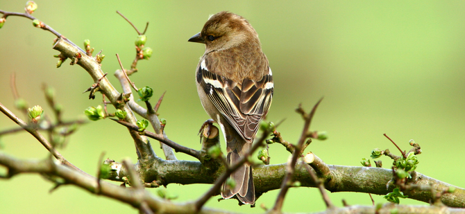 Photos For Free Free The Female Chaffinch